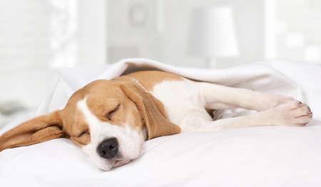 침대에서 자고있는 작은 사냥개 비글 개가 담요로 덮여
