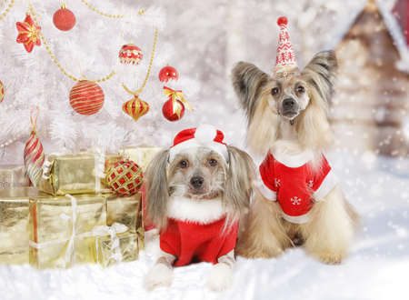 Portrait of two purebred Chinese Crested dogs dressed in a Christmas costumes near Christmas tree with gifts