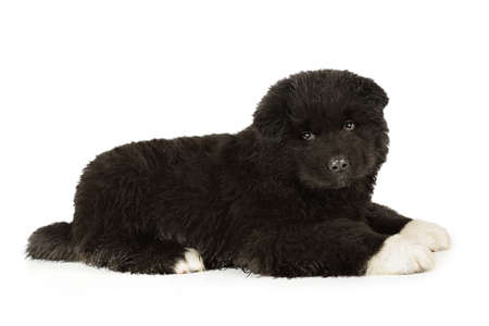 American Akita puppy dog isolated on a white background