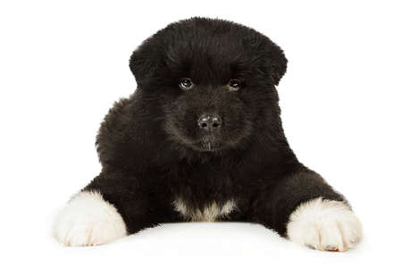 Purebred American Akita puppy dog isolated on  a white background