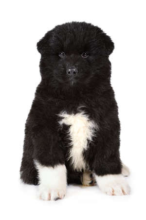 Two months old American Akita puppy dog isolated on a white background