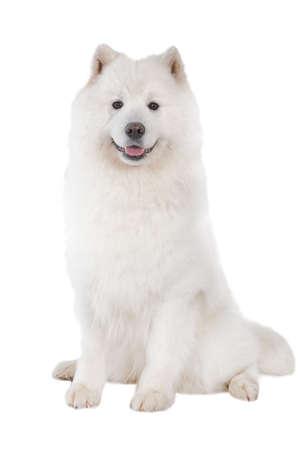 Samoyed dog, looking at camera. Isolated on white background