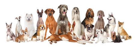 Group of various kind of purebred dogs sitting and lying next to each other looking up isolated on a white background Stock Photo - 93130595