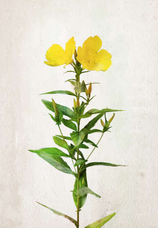 Illustration of watercolor Oenothera biennis flowers (evening-primrose, evening star, sun drop). Artistic watercolor painting style with texture