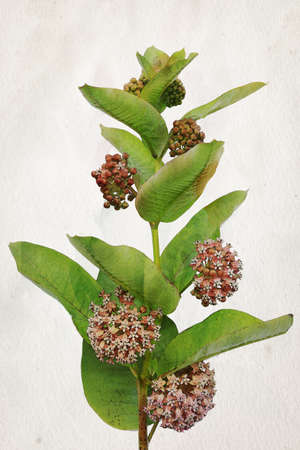 Illustration of watercolor Milkweed flowers (Asclepias). Artistic watercolor painting style with texture