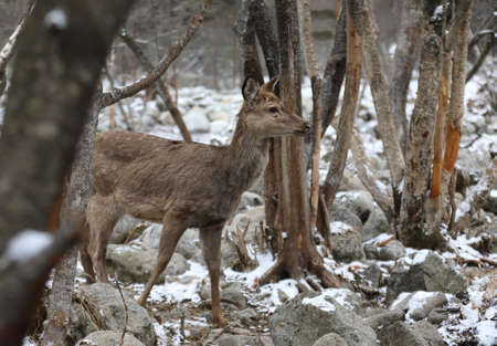 Sika deer came out of the winter forest in search of food Stock Photo
