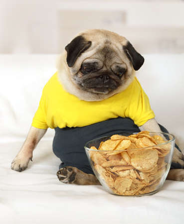 Pug dog sits on the couch and looking at a bowl of potato chips