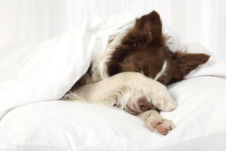 Beautiful Collie border breed dog lying in bed covering her face with a paw  Stock Photo