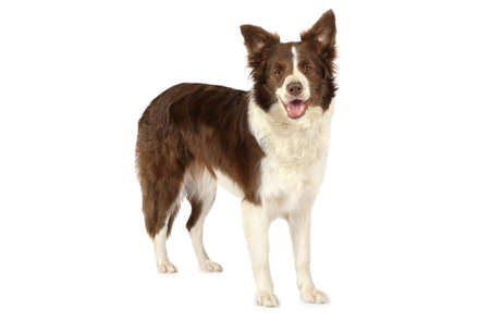 Thoroughbred Collie border breed dog, three years old, standing  in front of white background and looking at the camera