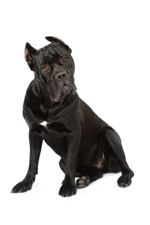 Cane Corso dog looking carefully at the camera and sitting, isolated on white background Stock Photo