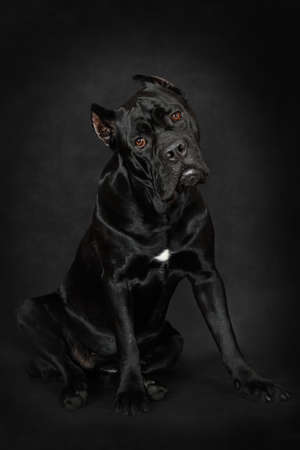 Cane Corso dog looking carefully at the camera and sitting, photo taken in a low key