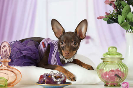 Four month old toy Terrier puppy dressed in a dress and beads lying in the interior with flowers