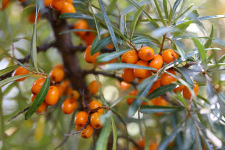 Ripe sea-buckthorn berries hang on a branch in a bright sunny day Imagens