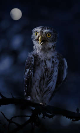 Little owl sitting on a branch in night the forest on the background of the full moon 免版税图像