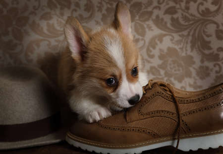 Lovely Welsh Corgi Pembroke puppy (six weeks old) chewing on shoe indoors Stock Photo