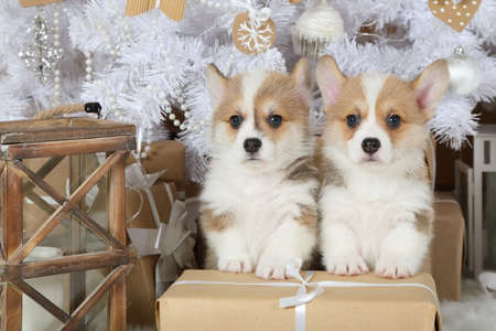 Two sweet puppies Welsh Corgi Pembroke sitting at a big holiday gift under the Christmas tree indoors