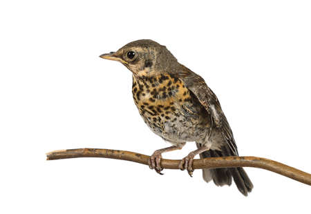 Nestling thrush fieldfare sitting on a branch isolated on a white background