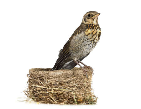 Cute nestling thrush fieldfare sitting on the nest isolated on a white background