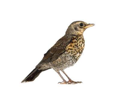 Cute baby bird thrush fieldfare isolated on a white background