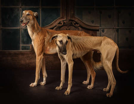 Two greyhounds dogs (Hortaya borzaya and Sloughi breed) standing in front of vintage background Stock Photo