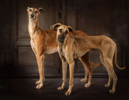 Two greyhounds dogs (Russian sight hound and Sloughi breed) standing in front of vintage background