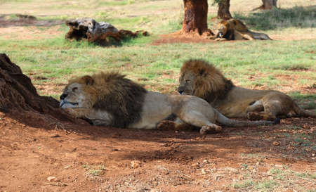 A flock of lions resting in the shade of trees in the midday heat 스톡 콘텐츠