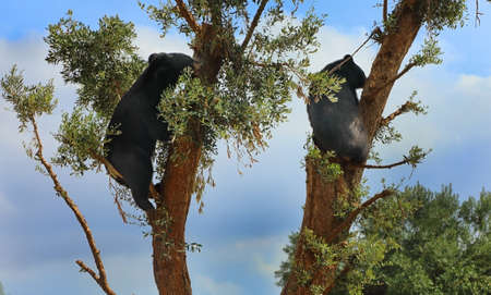 Two black bears climbing trees against the blue sky 스톡 콘텐츠
