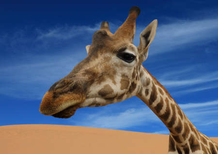 Portrait of giraffe against the background of blue sky. Wildlife scene with animals