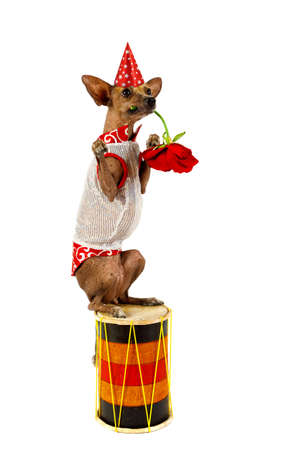 Funny Xoloitzcuintli dog in a clown suit sitting on the drum and holds a flower in his mouth isolated on white background