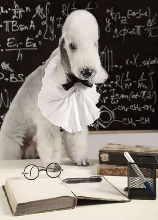 Scientist dog breed Bedlington Terrier sitting at the table in front of the blackboard