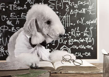 Cute scientist dog breed Bedlington Terrier sitting at the table in front of the blackboard