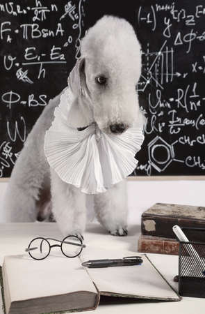 Funny scientist dog breed Bedlington Terrier sitting at the table in front of the blackboard Zdjęcie Seryjne