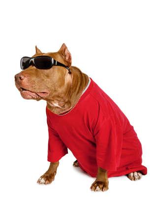 Perro American Pit Bull Terrier vestido con una camiseta roja, en su cuello una cadena de oro y en sus ojos gafas de sol aisladas sobre fondo blanco