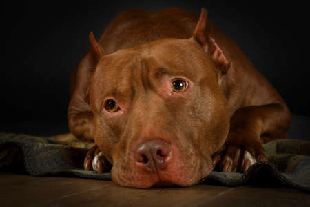 American Pit Bull Terrier dog lying on the floor with his muzzle on his paws
