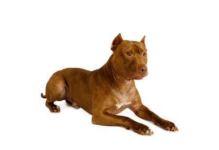 Purebred American Pit Bull Terrier dog lying and looks away isolated on a white background