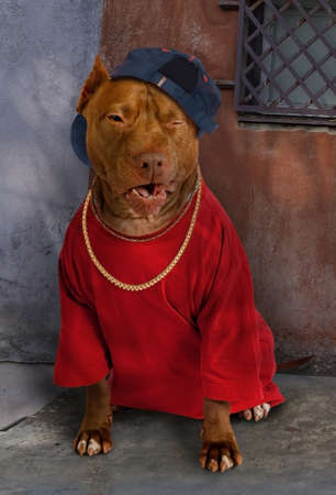 American Pit Bull Terrier dog dressed in a red tee shirt, on his neck a gold chain and on his head a baseball cap