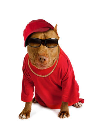 American Pit Bull Terrier dog dressed in a red tee shirt and a cap, on his neck a gold chain and on his eyes sunglasses isolated on a white background