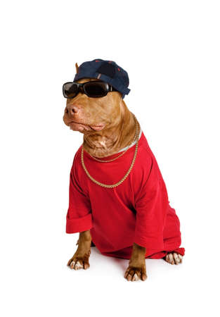 Funny American Pit Bull Terrier dog dressed in a red tee shirt and a cap, on his neck a gold chain and on his eyes sunglasses isolated on a white background