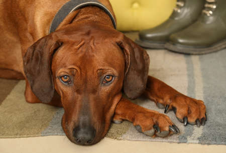 Portrait of a Rhodesian Ridgeback dog lying on the rug in the hallway with his head on his paws Stock Photo