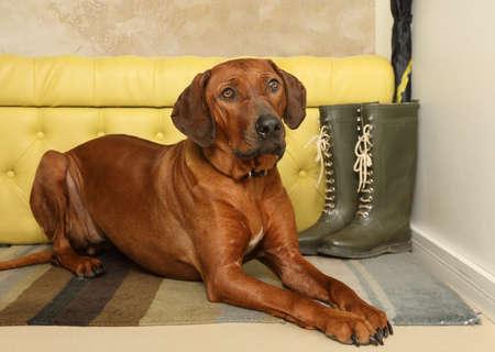 Netter Rhodesian Ridgeback Hund, der mit dem Kopf auf den Pfoten auf dem Teppich im Flur liegt Standard-Bild