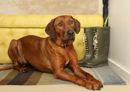 Nice Rhodesian Ridgeback dog lying on the rug in the hallway with his head on his paws Imagens
