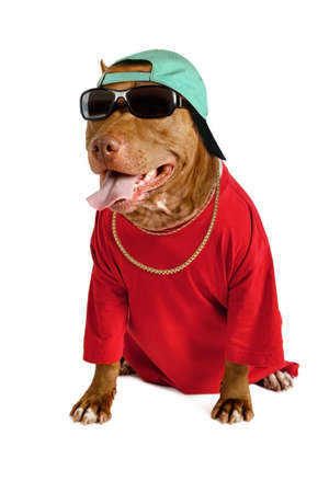 Amusing American Pit Bull Terrier dog dressed in a red tee shirt and a cap, on his neck a gold chain and on his eyes sunglasses isolated on a white background Reklamní fotografie