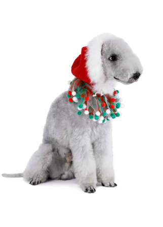 Funny Bedlington Terrier dog dressed in a Santa hat sitting in the studio isolated on a white background