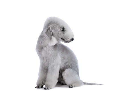 A thoroughbred Bedlington Terrier dog sitting in the studio isolated on a white background Фото со стока
