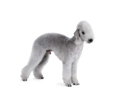 Nice Bedlington Terrier dog standing in a classic stance isolated on a white background