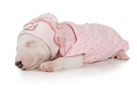 Nice Miniature Bull Terrier puppy one month old in her pajamas sleeping isolated on a white background