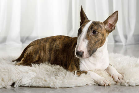 Cute Miniature Bull Terrier dog lying on a fur rug on the living room floor Reklamní fotografie
