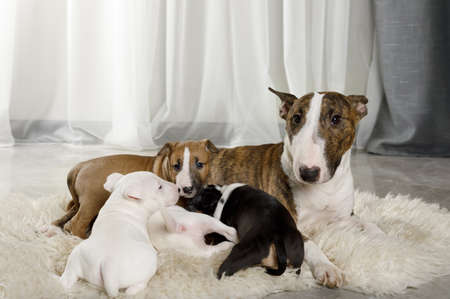 Miniature Bull Terrier dog with four puppies lying on a fur rug in the living room Reklamní fotografie