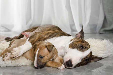 Miniature Bull Terrier mom dog hugs her puppy while lying on a fur rug in the living room