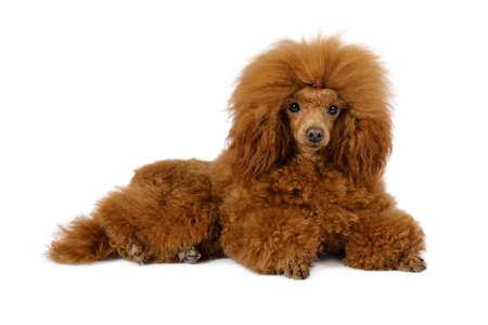 Fluffy Toy Poodle dog lying on a white background Stock Photo